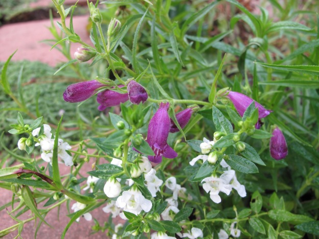 Penstemon mexicali 'Pike's Peak Purple' and Angelonia 'Serena White'