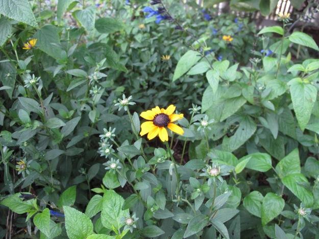 Rudbeckia fulgida (Orange Coneflower)