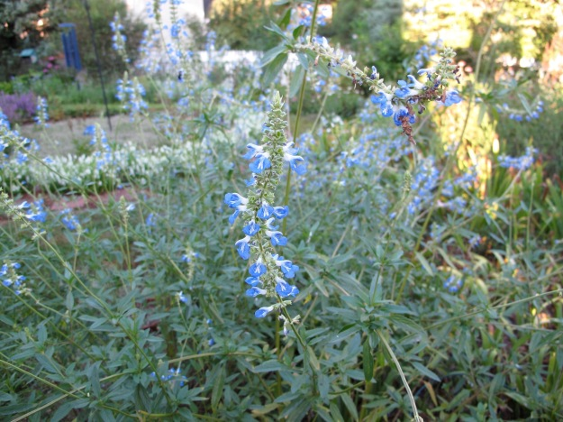 Salvia uliginosa 'Blue Sky' (Bog sage)
