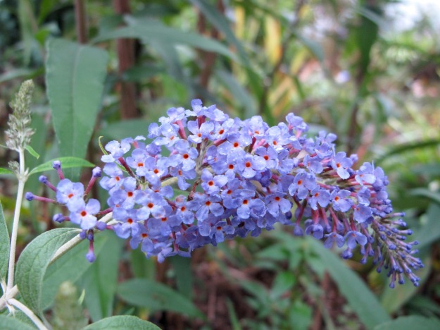 Buddleja davidii 'Adokeep' (Adonis blue Butterfly Bush)