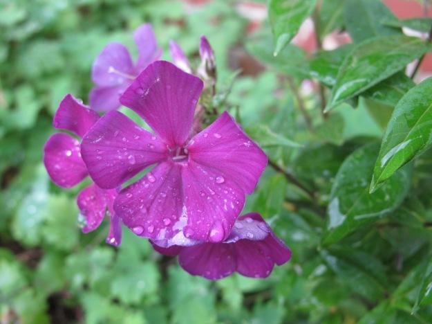 Garden Phlox Phlox paniculata 'Nicky'