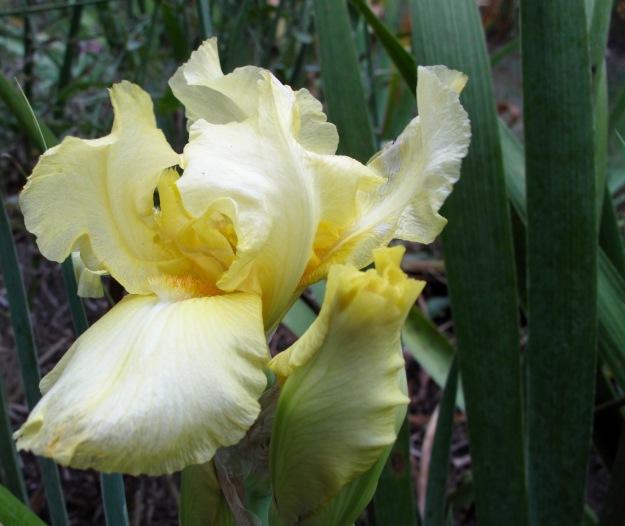 Reblooming Iris