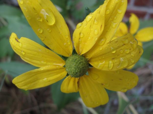 Rudbeckia laciniata (Green-Headed Coneflower)