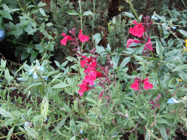 Salvia greggii 'Furman's Red' (Autumn Sage)