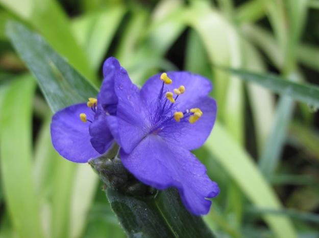 Tradescantia (Spiderwort)