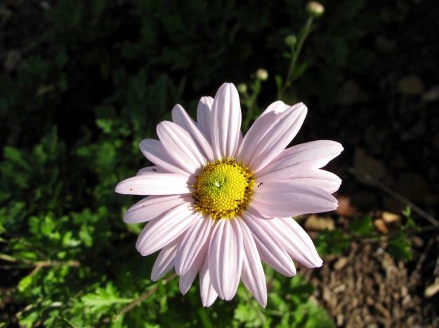 Chrysanthemum 'Sheffield Pink' (Hardy Chrysanthemum)