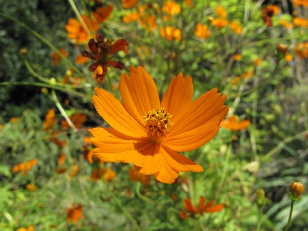 Cosmos sulphureus (sulphur cosmos) at NCSU Raulston Arboretum