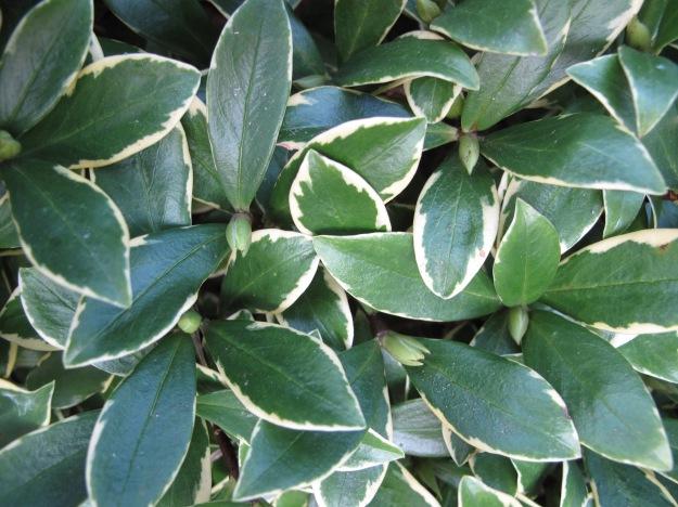 Daphne odora 'Aureomarginata' (Winter daphne)