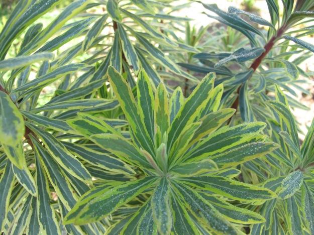 Euphorbia 'Ascot Rainbow' (Ascot Rainbow Spurge)