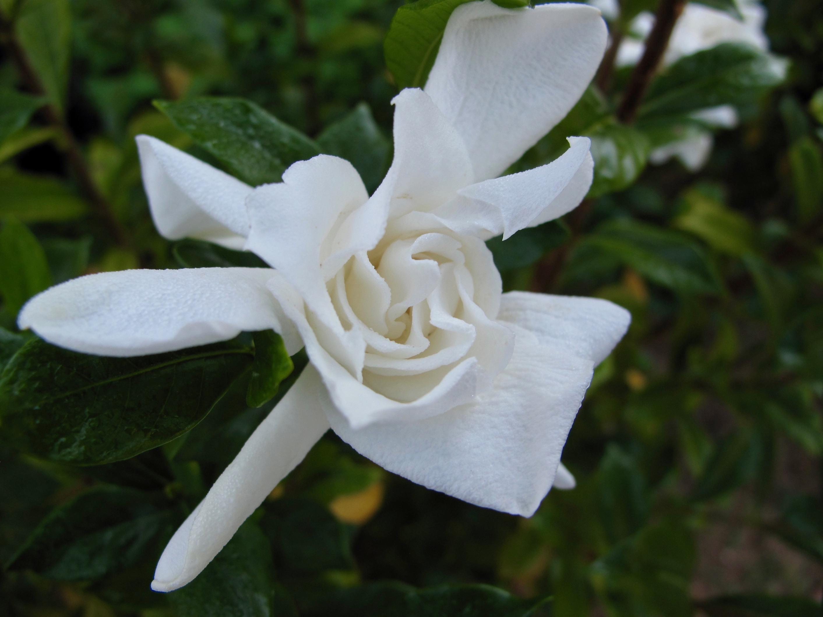 Exceptional Gardenia Jasminoides U0027August Beautyu0027