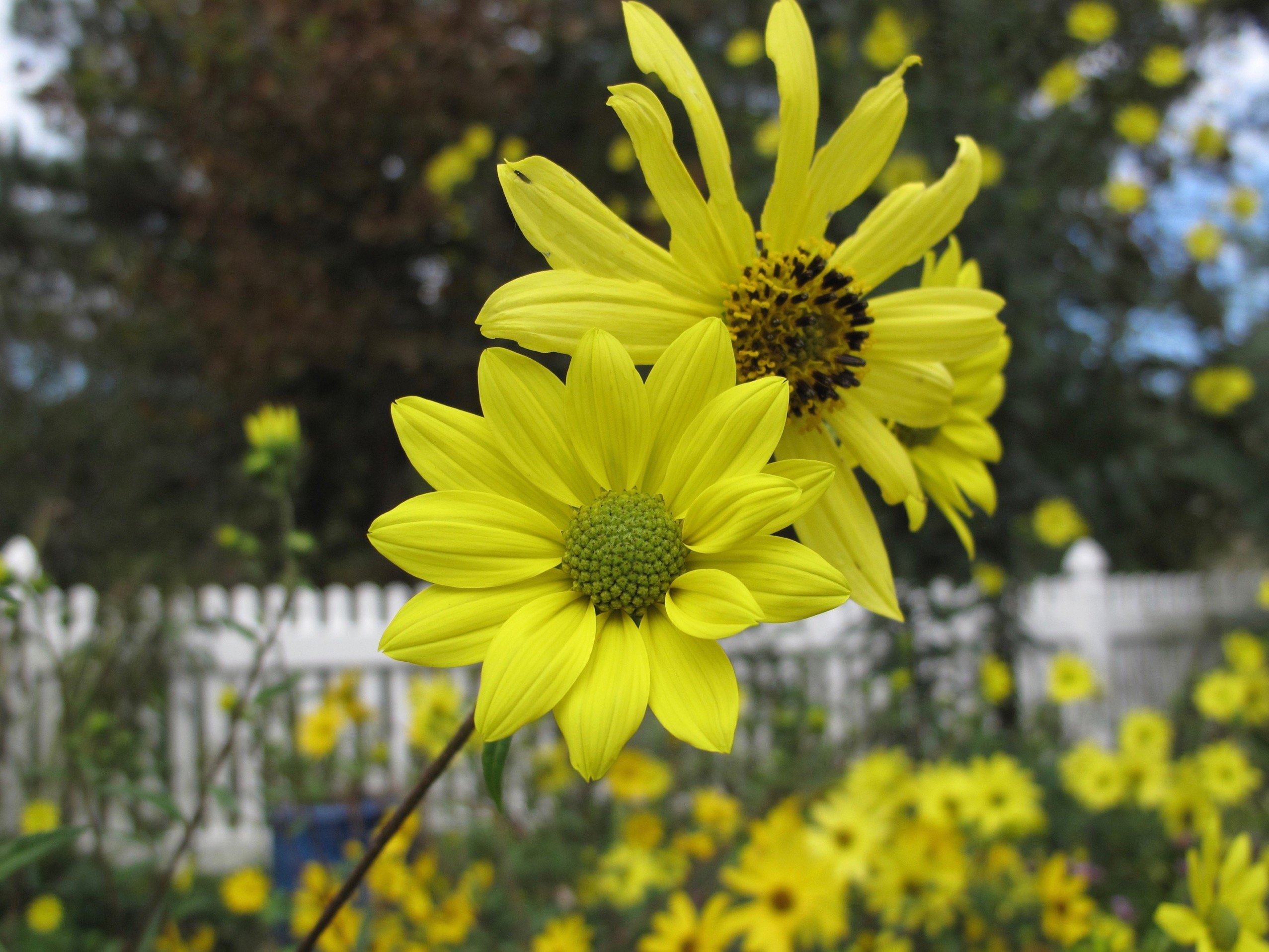 Helianthus Angustifolius Swamp Sunflower Pbmgarden