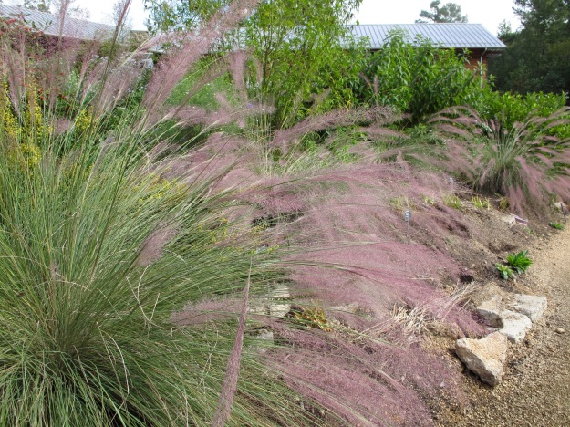 Muhlenbergia 'Pink Flamingos' (Hybrid Hair Grass) at NCBG