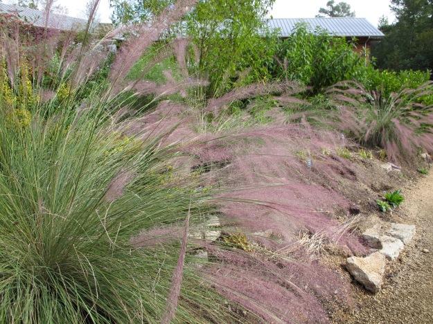 Muhlenbergia 'Pink Flamingos' (Hybrid Hair Grass) at NCBG