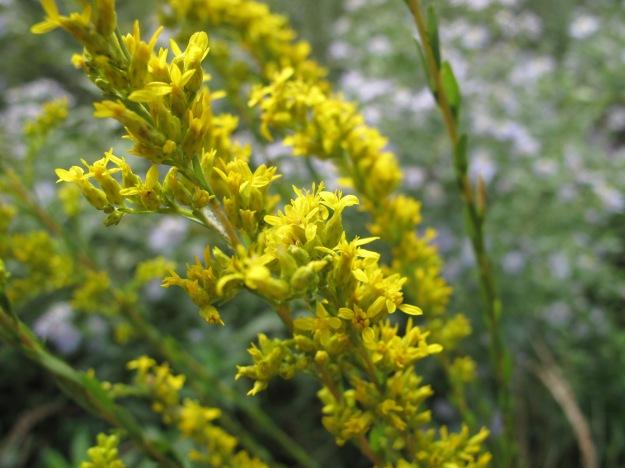 Solidago spp. (Goldenrod)