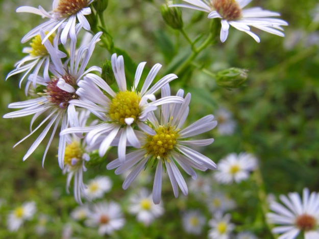 Symphyotrichum puniceum (Purple-stem American-aster) -Canada & eastern United States