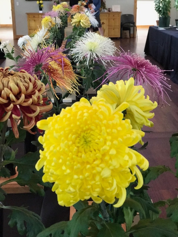 Chrysanthemum Show At Duke Gardens
