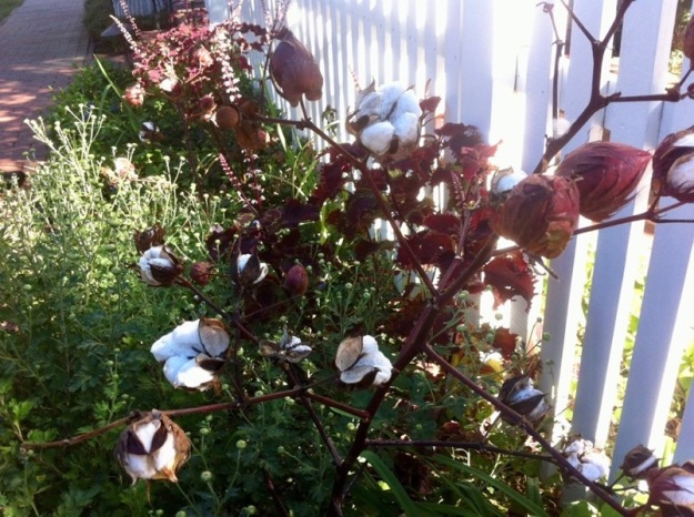 Cotton at Fearrington