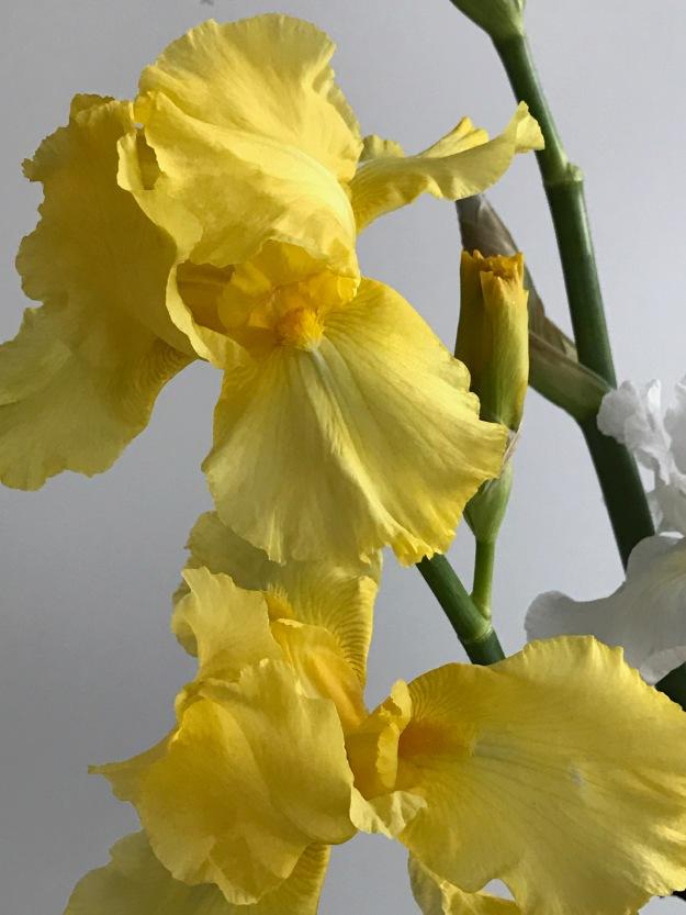Reblooming Tall Bearded Iris