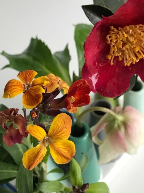 Erysimum and Camellia Sasanqua 'Yuletide'