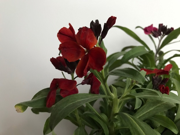 Erysimum 'Sugar Rush Red'