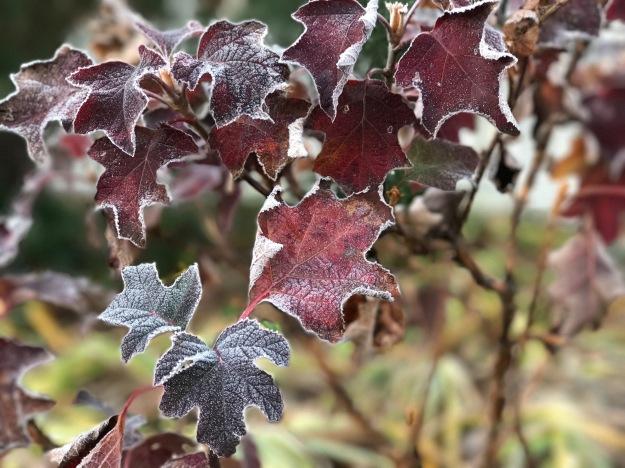 Frost rimmed foliage of Hydrangea quercifolia 'Ruby Slippers' (Lil' Ruby dwarf Oakleaf Hydrangea)