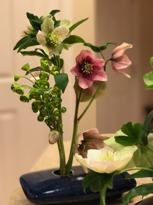 Euphorbia 'Shorty' and Helleborus x hybridus