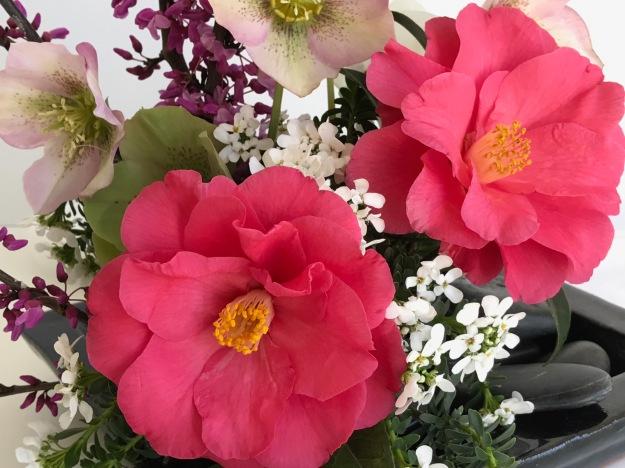 Camellia x 'Coral Delight'