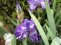 Iris germanica 'Batik' (Bearded iris)