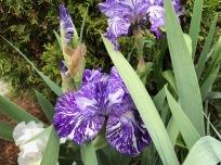 Iris germanica 'Batik' (Bearded iris)