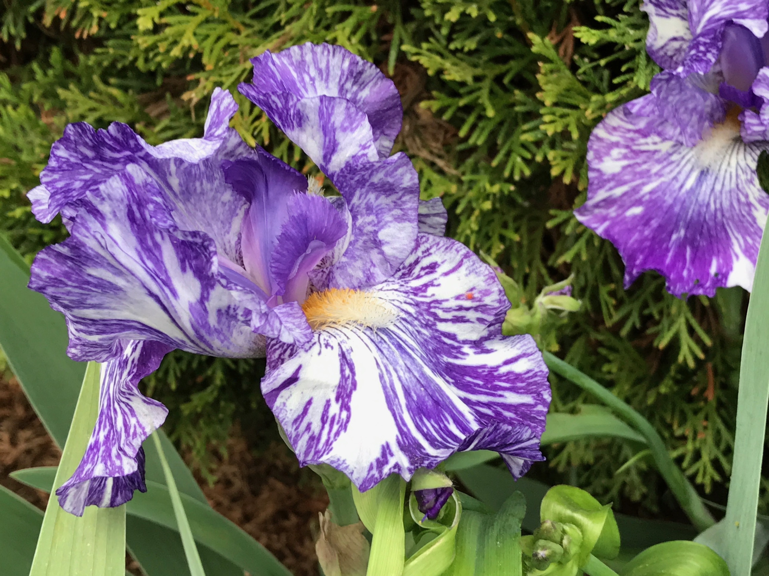 Iris germanica batik bearded iris pbmgarden - Iris germanica ...