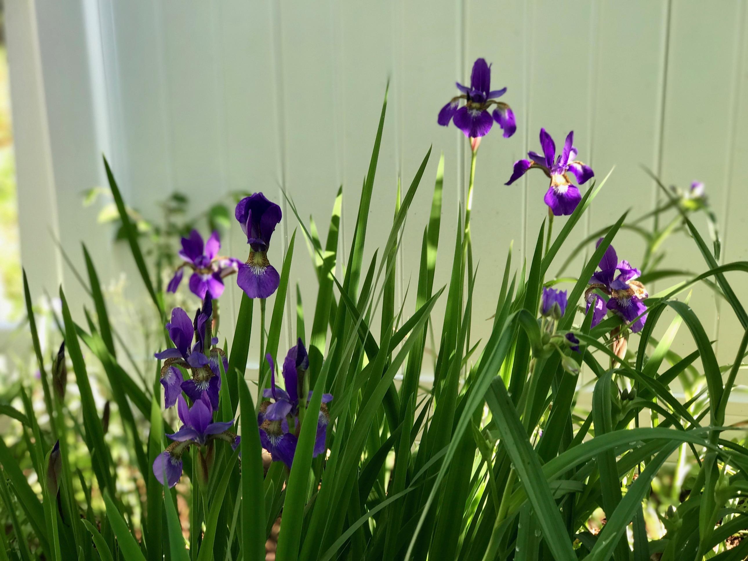 Iris Sibirica Siberian Iris Pbmgarden