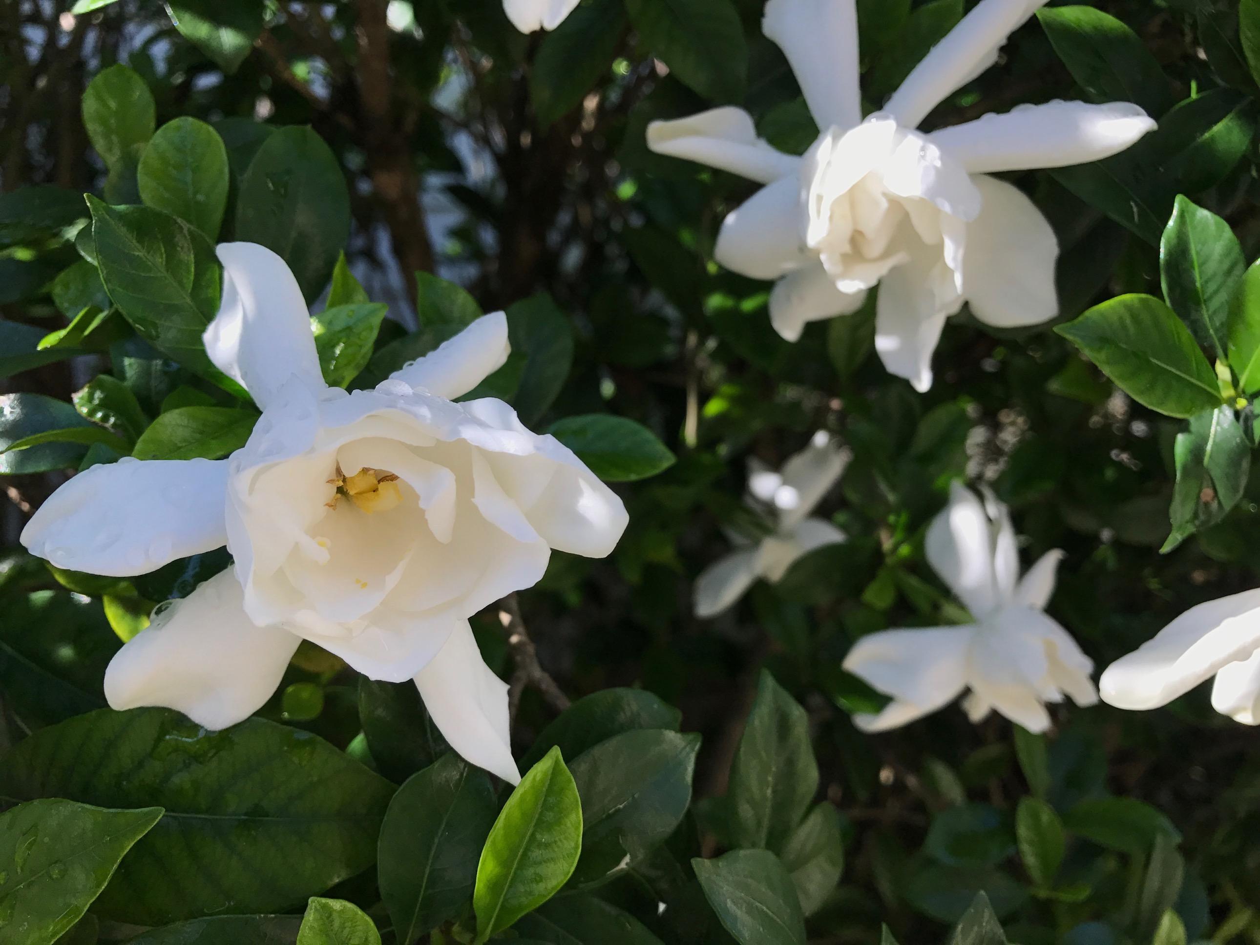 Gardenia jasminoides cape jasmine pbmgarden gardenia jasminoides cape jasmine izmirmasajfo