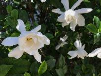Gardenia jasminoides (cape jasmine)