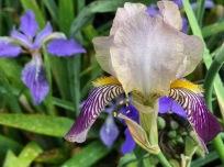 Iris tectorum (Japanese Roof Iris) and Iris germanica (Tall bearded iris)