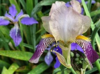 Iris tectorum (Japanese Roof Iris) and Iris germanica (Tall bearded iris)