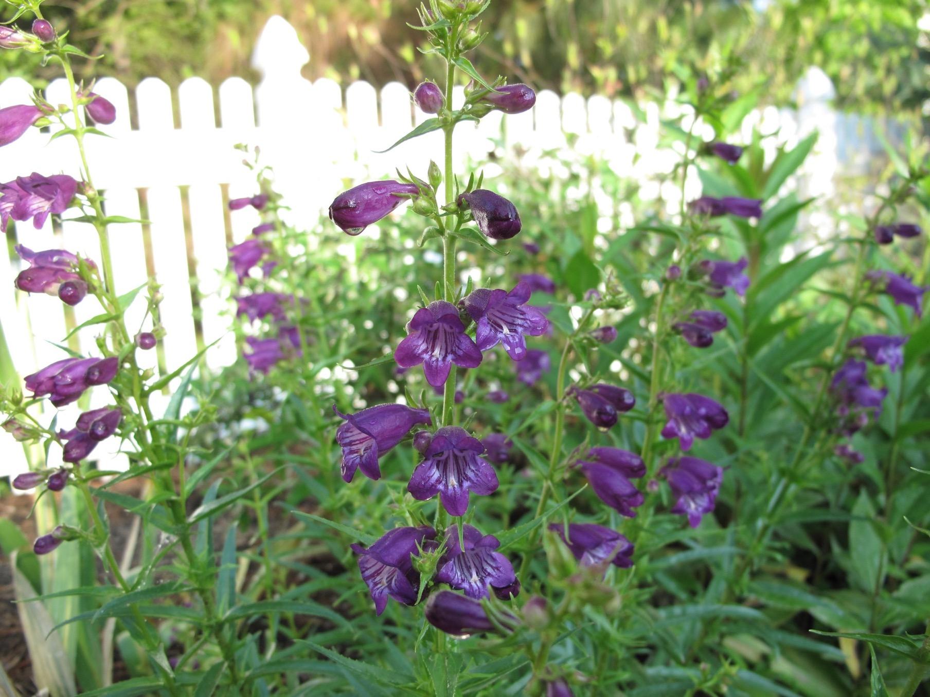 Penstemon Mexicali Pike S Peak Purple Beardtongue
