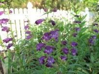 Penstemon 'Pikes Peak Purple' (Beard-tongue). Deep purple in the shade