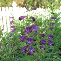 Penstemon 'Pikes Peak Purple' (Beard-tongue). Deep purple in the shade