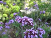 Verbena bonariensis (Tall Verbena)