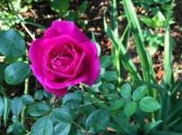 Virgie's Rose - a passalong