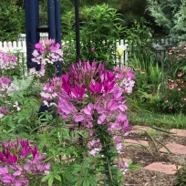 Cleome hassleriana (Spider Flower) In Meditation Circle