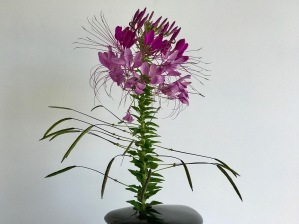 Cleome - June 27, 2017
