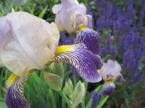 Iris and May Night Salvia
