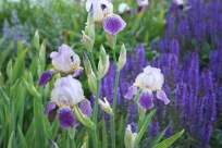 Iris and May Night Salvia