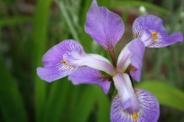 Iris In Southern Side Path