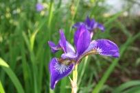Iris sibirica (Siberian Iris)