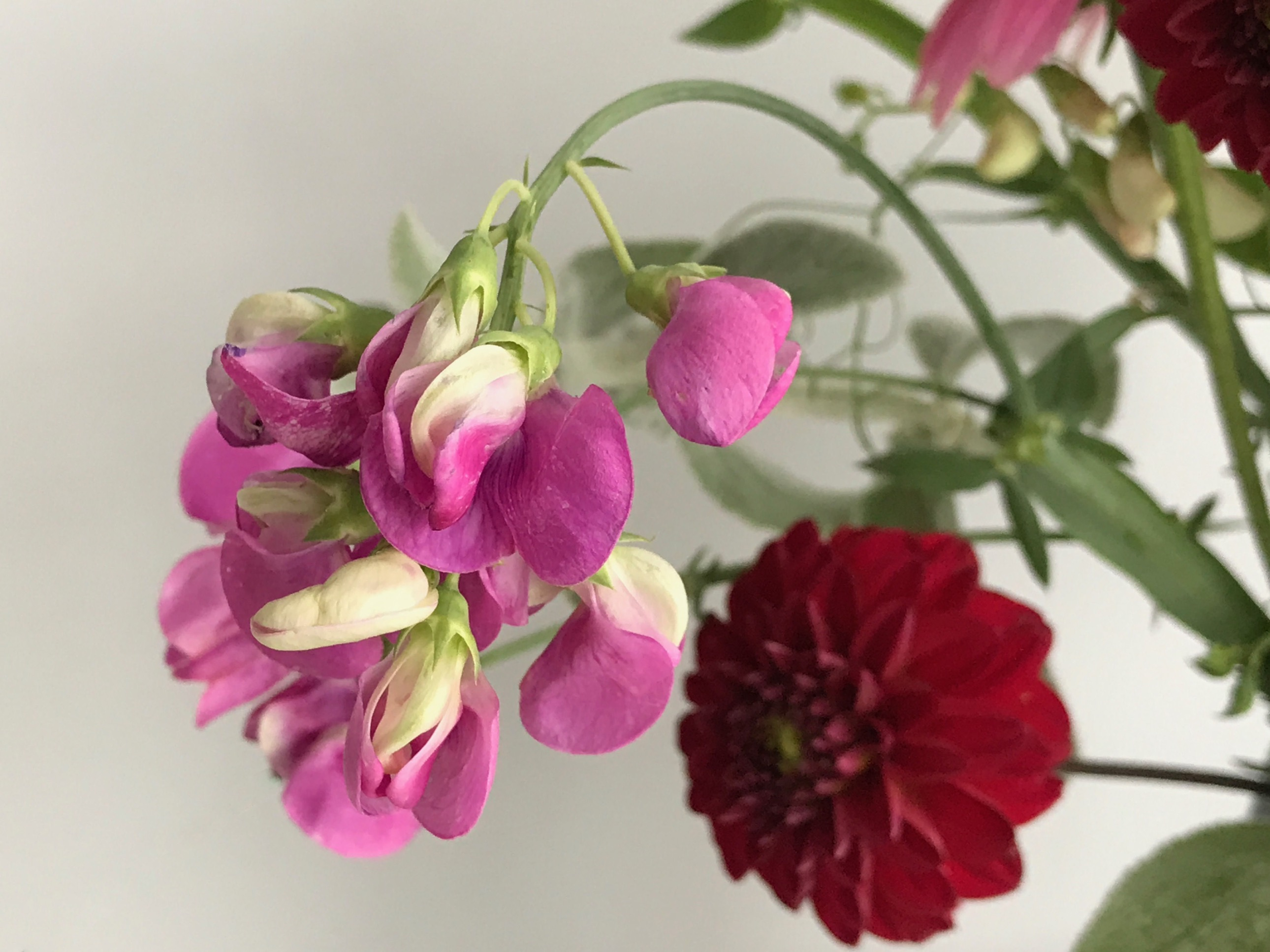 In a vase on monday summer bouquet pbmgarden lathyrus latifolius everlasting sweet pea reviewsmspy