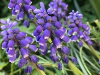 Muscari (Grape Hyacinth)