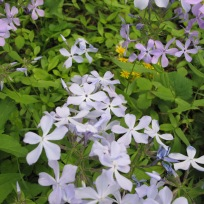Packera aurea (Golden Ragwort) and Phlox divaricata (Eastern Blue Phlox) at NCBG