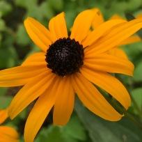 Rudbeckia fulgida 'Goldsturm' (Black-eyed Susan)